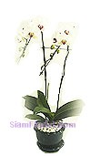 7009  Orchid Plants Phalaenopsis  start US$74