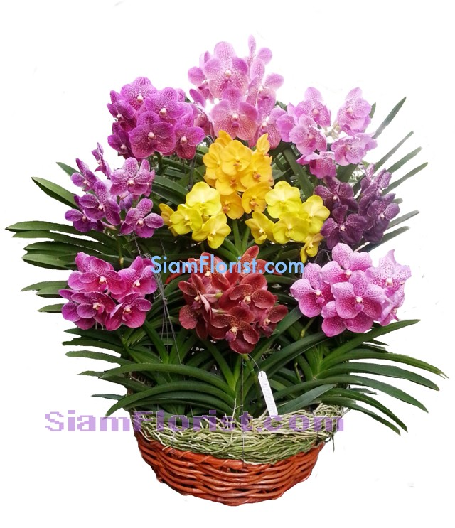 OR2398  Orchid Plants in Basket  Click for detail