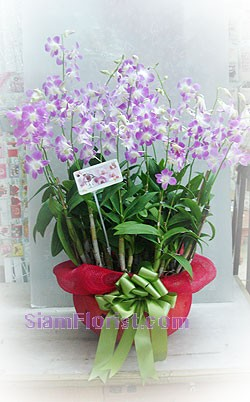7002  Orchid Plants in Basket