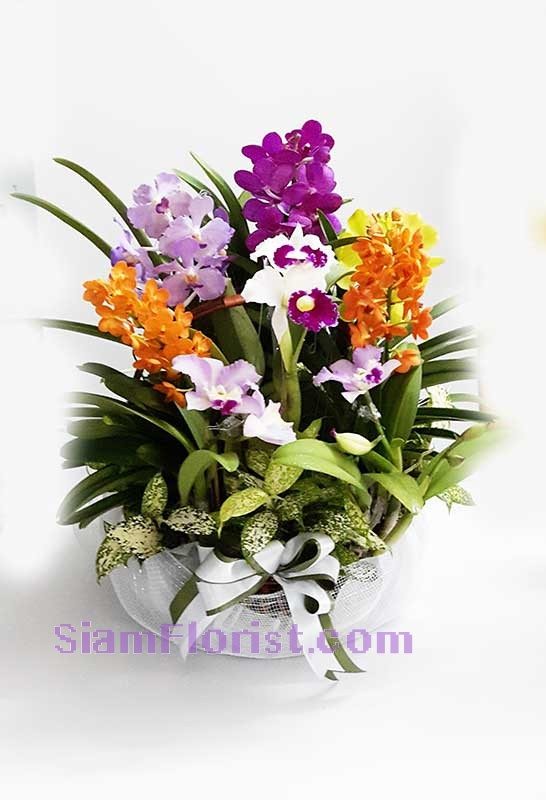 OR2496  Orchid Plants in Basket  Click for detail