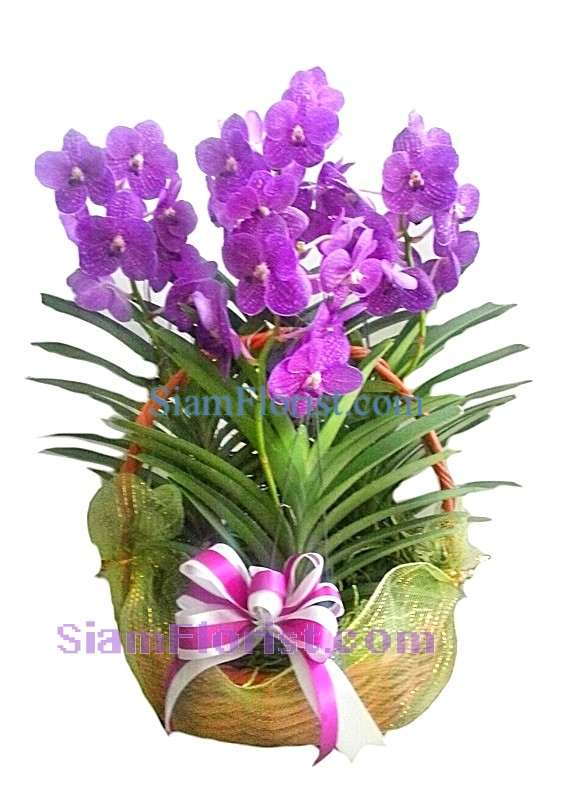 OR2410  Orchid Plants in Basket  Click for detail