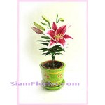 2273 Lily Plant in the pot  start US$58