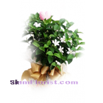 01955JB Bouquet of gardenia jasmine