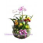 OR2411  Orchid Plants in Basket  Click for detail
