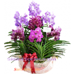 OR2375  Orchid Plants in Basket