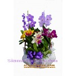 7010    Basket of Orchids Plants start US$94 click for detail