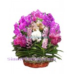OR2409  Orchid Plants in Basket  Click for detail