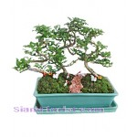 2246  Tray Garden - Bon Sai  start US$74
