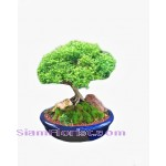 2270  Tray Garden - Bon Sai  start US$118
