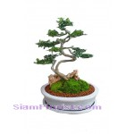 2290  Tray Garden - Bon Sai  start US$70